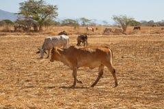 Коровы пася на высушенном поле Стоковые Фотографии RF