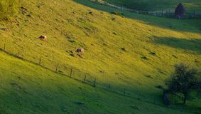 Коровы пася на горах на времени захода солнца Стоковая Фотография RF