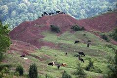Коровы пася на горе Стоковые Изображения RF