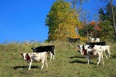 Коровы пася на горном склоне Стоковое Фото
