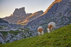Коровы пася на горном склоне Стоковые Изображения