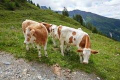 Коровы пася на горном склоне Стоковое фото RF