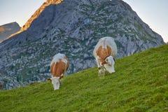 Коровы пася на горном склоне Стоковое Изображение RF