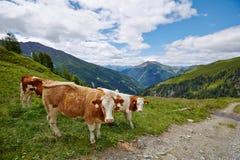 Коровы пася на горном склоне Стоковые Фотографии RF
