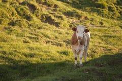 Коровы пася на горном склоне Стоковая Фотография