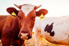 Коровы пася на дворе фермы на заходе солнца Скотины есть и идя outdoors Конец-вверх коричневой коровы Стоковое фото RF