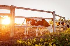 Коровы пася на дворе фермы на заходе солнца Скотины есть и идя outdoors Стоковые Фотографии RF