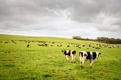 Коровы пася на ежедневной ферме Стоковые Изображения