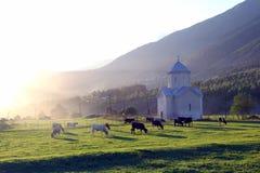 Коровы пася на заходе солнца на зеленой траве в горах Стоковое Фото
