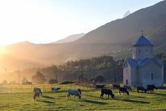 Коровы пася на заходе солнца на зеленой траве в горах Стоковое фото RF