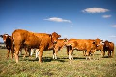 Коровы пася на зеленом выгоне Стоковое Фото