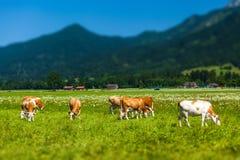Коровы пася на зеленом высокогорном луге Стоковые Изображения