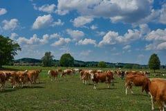 Коровы пася на зеленом и шикарном луге Европы Стоковые Фото