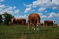 Коровы пася на зеленом и шикарном луге Европы Стоковая Фотография RF