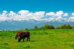 Коровы пася на зеленом луге в гористых местностях Стоковое Изображение RF