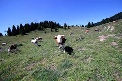 Коровы пася на зеленом луге горы сфотографировали с fisheye Стоковая Фотография RF