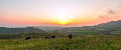 Коровы пася на зеленом луге на заходе солнца Стоковые Фотографии RF