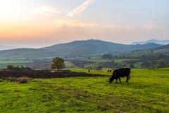 Коровы пася на зеленом луге на заходе солнца Стоковая Фотография