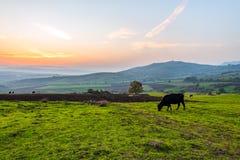 Коровы пася на зеленом луге на заходе солнца Стоковая Фотография RF