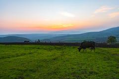 Коровы пася на зеленом луге на заходе солнца Стоковое Изображение