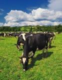 Коровы пася на зеленом луге лета в Венгрии Стоковая Фотография