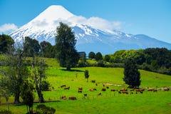 Коровы пася на зеленом луге Стоковая Фотография