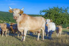 Коровы пася на зеленом луге Стоковое Изображение