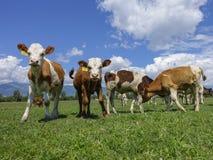 Коровы пася на зеленом лужке Стоковая Фотография RF