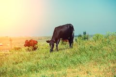 Коровы пася на зеленом поле Стоковые Изображения