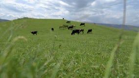 Коровы пася на зеленом bolom выгона акции видеоматериалы