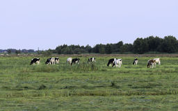 коровы пася на зеленой траве Стоковое фото RF