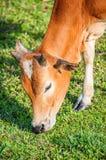 Коровы пася на зеленом лете Стоковые Изображения RF