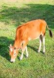 Коровы пася на зеленом лете Стоковое Изображение RF