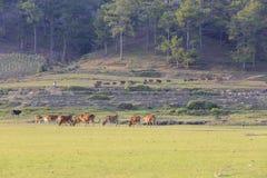 Коровы пася на зеленом поле лета Стоковые Фотографии RF