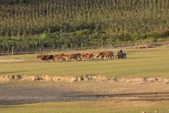 Коровы пася на зеленом поле лета Стоковое фото RF