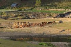 Коровы пася на зеленом поле лета Стоковые Изображения RF