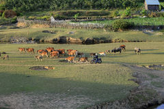 Коровы пася на зеленом поле лета Стоковая Фотография
