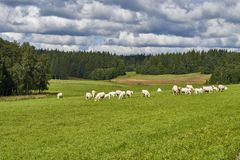 Коровы пася на зеленом поле, Норвегии Стоковые Фото