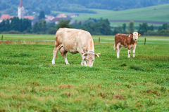 Коровы пася на зеленом поле Стоковые Изображения RF