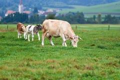 Коровы пася на зеленом поле Стоковое Фото