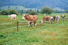 Коровы пася на зеленом поле Стоковое Изображение