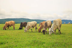 Коровы пася на зеленом сочном луге Стоковые Изображения