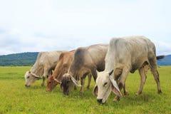 Коровы пася на зеленом сочном луге Стоковые Фото