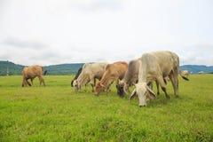 Коровы пася на зеленом сочном луге Стоковые Фотографии RF