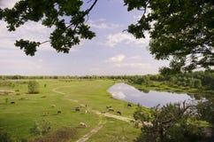 Коровы пася на зеленом сочном луге Стоковое Изображение RF