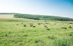 Коровы пася на зеленом сочном луге Стоковая Фотография RF