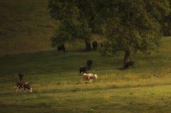 Коровы пася на зеленом луге весной Стоковое Изображение
