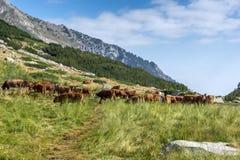 Коровы пася на зеленом луге, гора Pirin Стоковое Фото