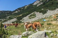 Коровы пася на зеленом луге, гора Pirin, Стоковые Изображения