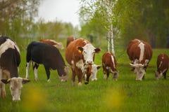 Коровы пася на зеленом луге лета в Венгрии Стоковые Фото